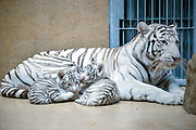 April 25, 2016 - Liberec, Czech Republic -<br /> <br /> The cubs of a very rare white Indian tiger<br /> <br /> A pair of two-month baby white tigers cuddle with their mother Surya Bara at the  Zoo in Liberec, Czech Republic, April 25, 2016. <br /> ©Exclusivepix Media