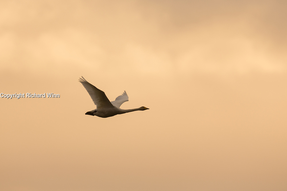 Whooper swan flying against a pale orange sky near to sunset at Nigg Bay in Cromarty Firth.
