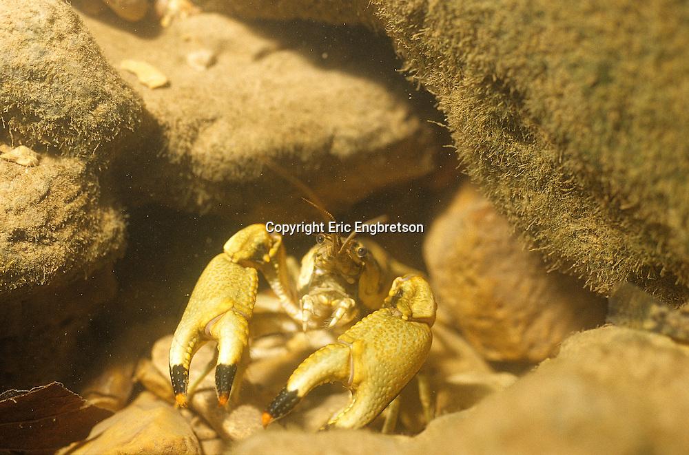Ringed Crayfish<br /> <br /> ENGBRETSON UNDERWATER PHOTO