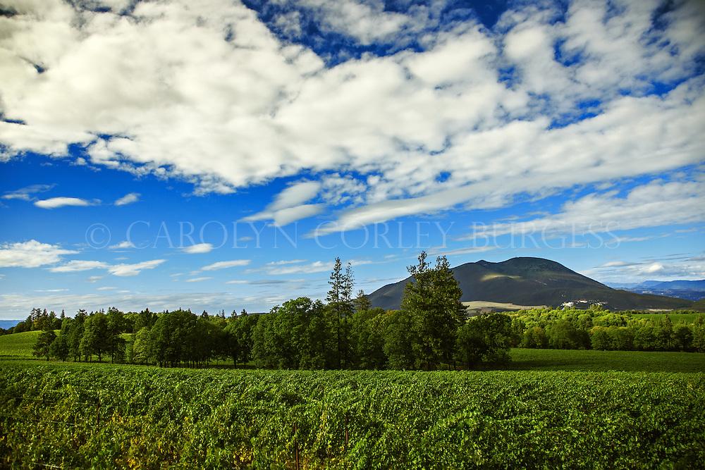 Beringer Vineyards Clear Mountain Vineyard just before harvest.