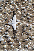 Over 1200 pairs of Australasian Gannets nest at Muriwai each summer, typically between August and March.  A single blue egg is laid with an incubation time of approximately 44 days.  The parents take turns in incubating the egg, similar to that of penguins.  At 15 weeks the chicks take off on their maiden flight of 2000 kilometers to Australia and they don't return for 2 to 6 years.