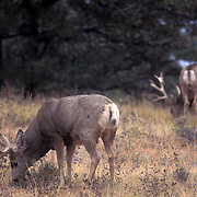 Huge collection of monster mule deer.