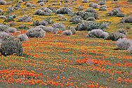 Field of California Poppies, Eschscholzia californica, and Goldfields, Lasthenia chrysostoma, Lancaster, California