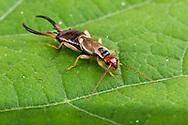 European Earwig (Forficula auricularia) - male<br /> CALIFORNIA: Monterey Co.<br /> Hastings Biological Preserve<br /> 10-May-2015<br /> J.C. Abbott &amp; K.K. Abbott