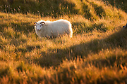 A sheep at the Budahraun Nature Preserve, Iceland (adjacent to Budir Hotel, Snaefellsnes, Iceland).