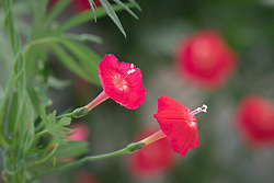 Ipomoea quamoclit 'Cardinalis' syn. Quamoclit coccinea syn. Ipomoea coccinea. Scarlet mornig glory, Red Cypress Vine, Cardinal Climber