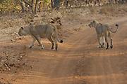 Sasan Gir - Monday, Jan 08 2007:  A female Asiatic Lion and cub walk off the track at Gir National Park. (Photo by Peter Horrell / http://www.peterhorrell.com)