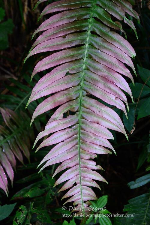 Fern detail in the Giant fern forest, La Yunga, Mairana, Santa Cruz, Bolivia