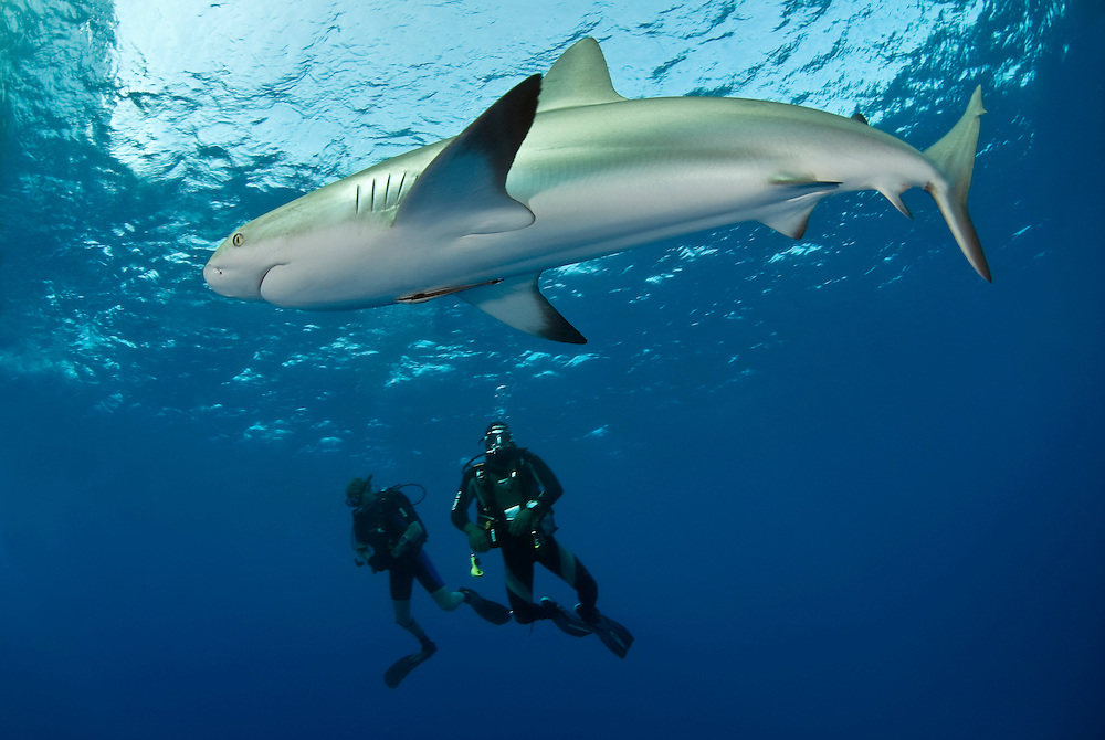 Karribisk revhaj, Charcharhinus perezi, betraktad av två dykare vid Jardines de la reina på Kuba.