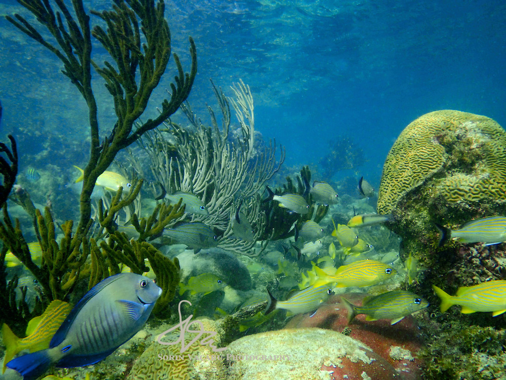 School of Mangrove Snappers in Shallow Water Reefs of the Riviera Maya