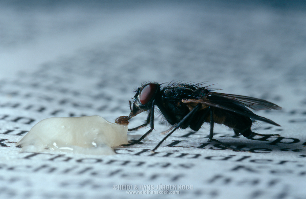 Deu, Deutschland: Stubenfliege (Musca domestica), saugt an einem Tropfen Honig auf einer Zeitung, Cuxhaven, Niedersachsen | DEU, Germany: Housefly (Musca domestica), sucking on a drop of honey on a newspaper, Cuxhaven, Lower Saxony |