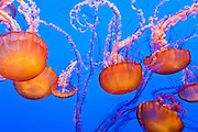 Sea nettles (Chrysaora fuscescens) at the Monterey Bay Aquarium, Monterey, California USA