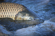 A Common Carp swims the shallows in an attempt to run upstream on the Bear River in northern Utah, April 27, 2008. Colin Braley
