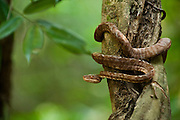 Amazon Tree Boa (Corallus hortulanus)<br />