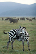 Zebra, Lake Nakuru National Park, Kenya