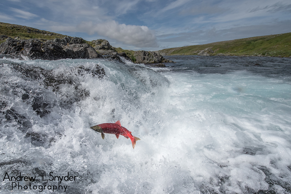 Sockeye salmon (Oncorhynchus nerka) making the jump up a small falls en route to spawning - Katmai, Alaska