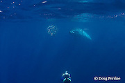 Bryde's whale, Balaenoptera brydei or Balaenoptera edeni, approaches a baitball of sardines to feed on it, off Baja California, Mexico ( Eastern Pacific Ocean ); photographer Brandon Cole at bottom of frame #1 in sequence of 6; MR 399
