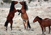 2017.02.20  Wild Horses Workshop in the West Desert : Jeff Swinger/Swingman Photo