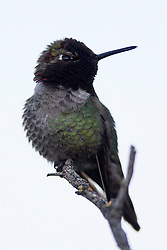 Anna's Hummingbird (Calypte anna), Shoreline Park, Mountain View, California, United States of America
