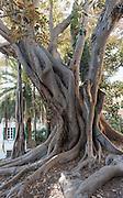 alter Gummibaum in der Altstadt La Pigna, Sanremo, Riviera, Ligurien, Italien | old fig tree in Old Town La Pigna, Sanremo, Riviera, Liguria, Italy