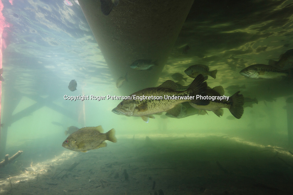 Group of Largemouth Bass Under Boat Dock<br /> <br /> Roger Peterson/Engbretson Underwater Photography