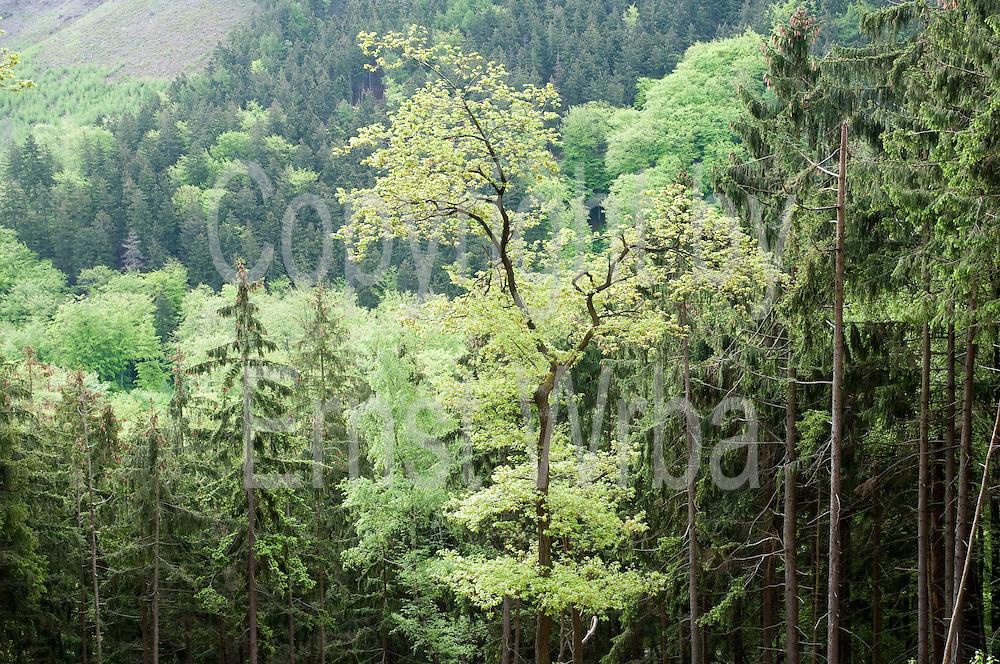 Wald, Borkenkäfer-Lehrpfad, lIsenburg, Harz, Sachsen-Anhalt, Deutschland | forest, bark beatle nature trail, Ilsenburg, Harz, Saxony-Anhalt, Germany