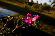 Inhauma_MG, Brasil...Detalhe de uma flor Azalea de um sitio...The Azalea flower in the landscape...Foto: LEO DRUMOND / NITRO