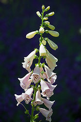? Digitalis F1 Dalmation 'Peach' or 'Rose' ? Foxglove. check i.d