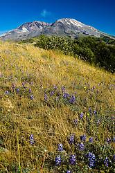 Broadleaf Lupine (Lupinus latifolius) and Mt. St. Helens Steam Eruption, Mt. St. Helens National Volcanic Monument, Washington, US