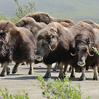 A herd of Musk Ox outside of Nome, AK.