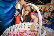 18 MAY 2008 -- MARICOPA, AZ: Women make flower garlands during dedication services in the new Hindu temple in Maricopa, AZ, Sunday. More than 3,000 Hindus from Arizona, southern California and New Mexico came to Maricopa, a small town in the desert about 50 miles south of Phoenix, for the dedication of the Maha Ganapati Temple of Arizona. It is the first Hindu temple in Arizona designed according to ancient South Indian Hindu architectural guides. Craftsmen from India came to Maricopa to complete the interior details of the temple. The dedication ceremonies lasted three days.   Photo by Jack Kurtz / ZUMA Press