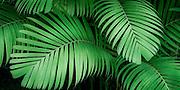 Tiger Palm - Pinanga Maculata