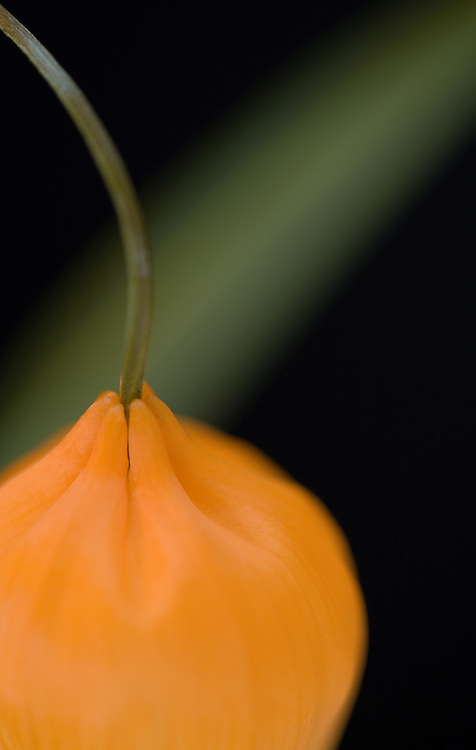 Close-up of a chinese latern with leaf behind flower.