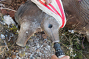 Black rhinoceros (Diceros bicornis bicornis) receiving tracking device in horn<br /> Great Karoo<br /> South Africa<br /> Endangered Species. CITES 1
