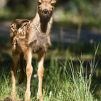 fawn mule deer with spots, baby