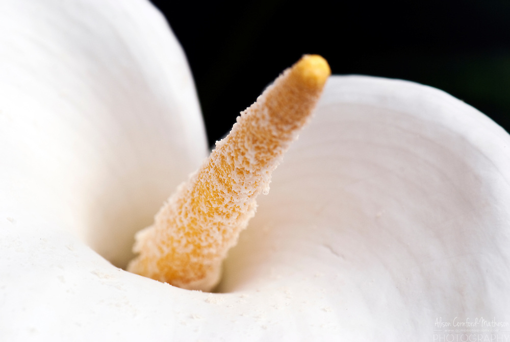 The calla lily (Zantedeschia aethiopica) is also known as the Lily of the Nile and the Arum Lily