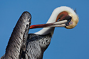 A Brown Pelican in full mating colors preens itself in La Jolla California.  La Jolla is a popular spot to photograph Brown Pelicans, particularly in January when they display their breeding colors.