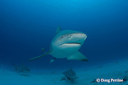 bull sharks, Carcharhinus leucas, female in seasonal breeding aggregation with remora or sharksucker, Echeneis naucrates, Playa del Carmen, Cancun, Quintana Roo, Yucatan Peninsula, Mexico ( Caribbean Sea )