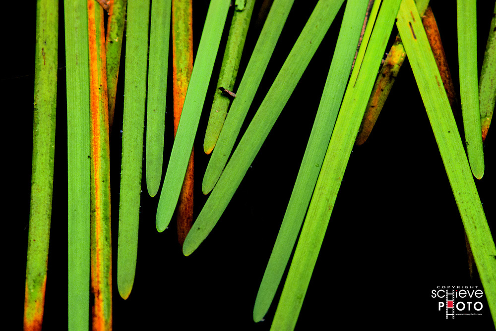 Reeds on the surface of English Lake.