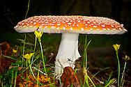 Amanita muscaria., Courtenay, British Columbia, Canada, Isobel Springett