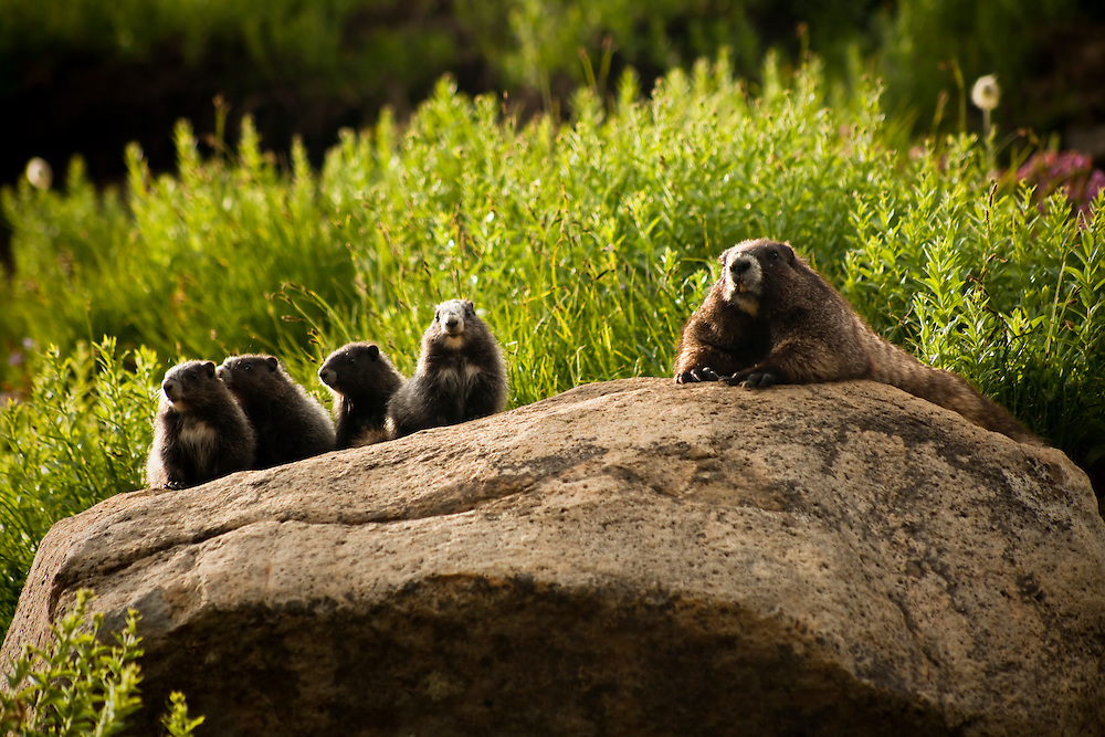 Family Time – Mt. Rainier National Park, Washington: Olympic marmots hibernate from September through May. This is the most dangerous time for the Olympic marmot and in years of light snowfall as much as 50% of the young born in that year will perish. Edition on 50