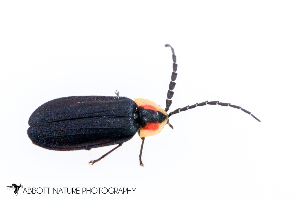 Black Firefly (Lucidota atra)<br /> United States: Louisiana: Rapides Parish<br /> Seepages off of Loving Creek<br /> Evangeline Unit of Kisatchie National Forest<br /> 7-Apr-2017<br /> J.C. Abbott #2922