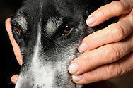 """Hands of the Austrian Bibi Degn, massage the face of her dog. Bibi Degn is a TTouch Practitioner. TTouch, named after Linda Tellington-Jones, which began 35 years ago for the first time this method on horses. The Tellington Touch method tries to balance animals with special touches physically, mentally and spiritually. Bibi Degn is founder of TT.E.A.M. Guild and trains TTouch Practitioner. When asked whether she loves animals, she replies: """"I like souls gladly"""". Neunkirchen, Germany / Haende der Oesterreicherin Bibi Degn; massieren das Gesicht ihres Hundes. Bibi Degn ist ein TTouch-Practitioner. TTouch, benannt nach Linda Tellington Jones, die erstmals vor 35 Jahren diese Methode bei Pferden einsetzte. Bei der Tellington Touch Methode wird versucht, Tiere durch spezielle Beruehrungen koerperlich, geistig und seelisch ins Gleichgewicht zu bringen. Bibi Degn ist Gruenderin der TT.E.A.M.-Gilde und bildet TTouch-Practitioner aus. Auf die Frage, ob sie tierlieb sein, antwortet sie: """"ich mag Seelen gern"""". Neunkirchen, Deutschland"""