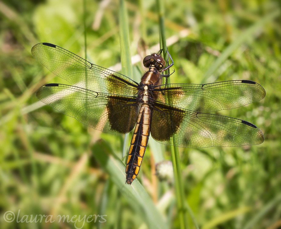 Widow Skimmer Dragonfly Female (Libellula luctuosa) on blade of grass at the pond in Shrewsbury Vermont.