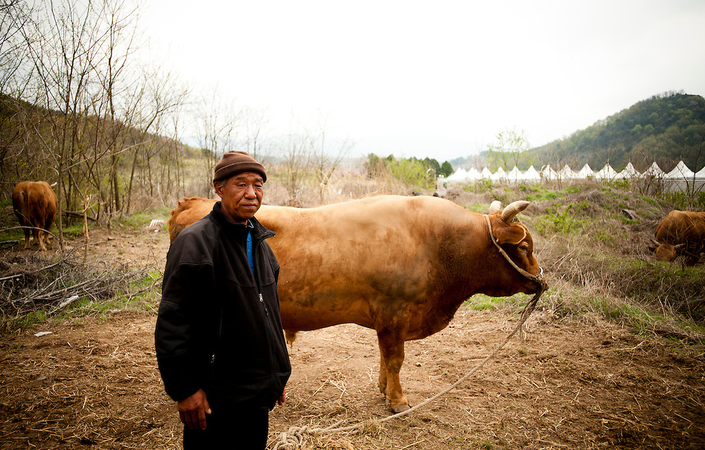 Park Chong-in stands next to one of his bulls in the waiting area at the Cheongdo Bullfighting Festival in Cheongdo, South Korea, April 20, 2012. Bulls fight at the 2012 Cheongdo Bullfighting Festival in Cheongdo, South Korea.