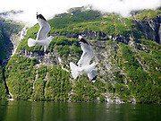 Norway, More og Romsdal, Geiranger fjord Sea gulls
