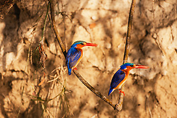 A pair of Malachite kingfishers (Alcedo cristata) perch on a low branch while fishing, Okavango Delta, Botswana,Africa