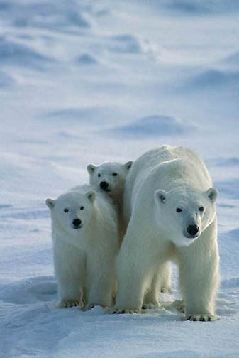 Polar Bear, (Ursus maritimus) Portrait of mother and cubs. Hudson Bay . Churchill, Manitoba. Canada.