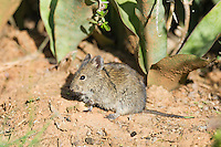 Bush Karoo Rat, Addo Elephant National Park, Eastern Cape, South Africa