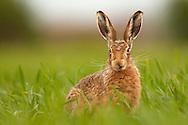 European Hare (Lepus europaeus) adult on farmland, Norfolk, UK.